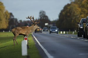 Will Insurance Cover a Vehicle Wildlife Collision?